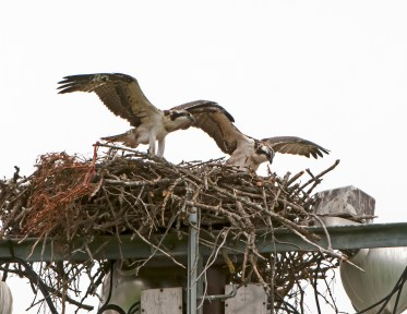 Two chicks practice for the first flight