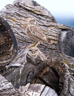 Burrowing Owl Pair