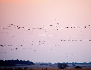 Sandhill Cranes coming in to roost