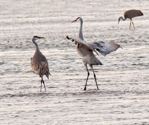 Sandhill Cranes Dancing in the Platte River