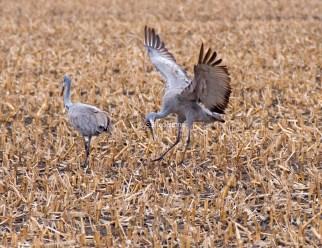 Sandhill Cranes Dancing1