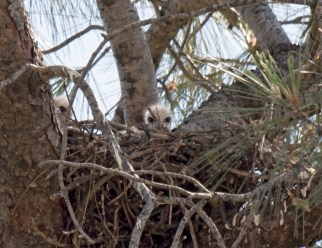 Red-Tailed Hawk Chicks