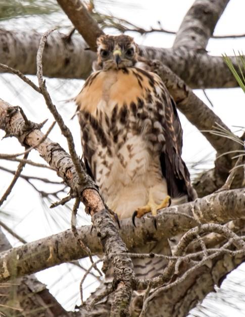 Red-Tail Hawk Fledgling