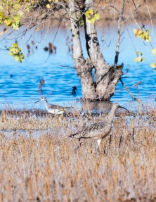 Curlew and Yellowlegs
