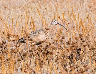 Curlew2