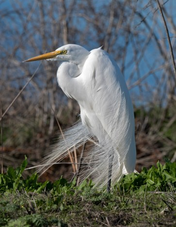 Great Egret in Breeding Plummage