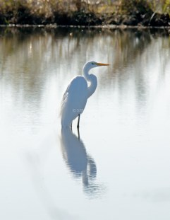 Great Egret1