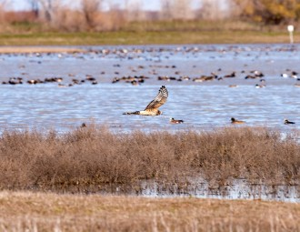 Northern Harrier6