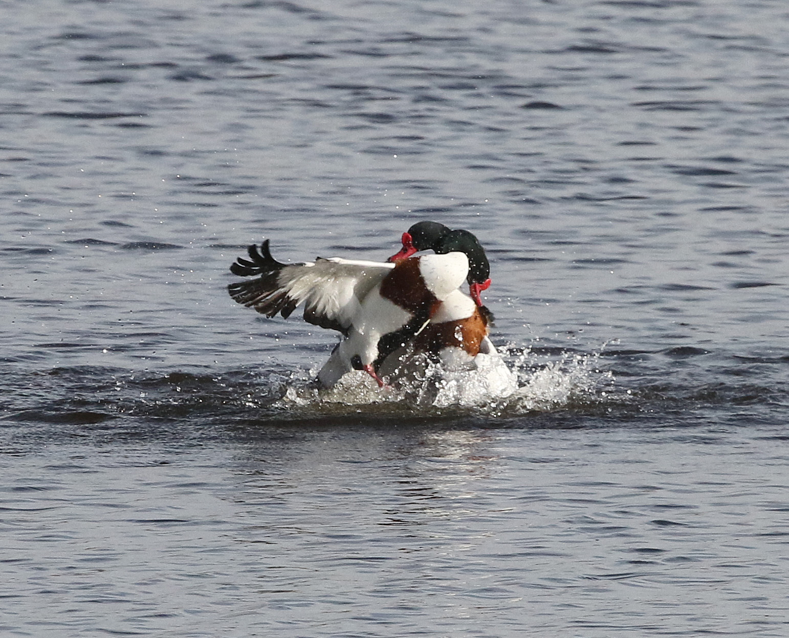 Duck - Typical mergansers