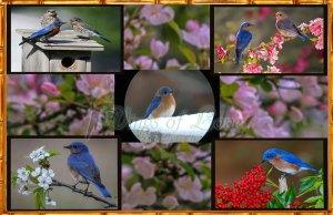Eastern Bluebird poster preview featuring eastern bluebirds