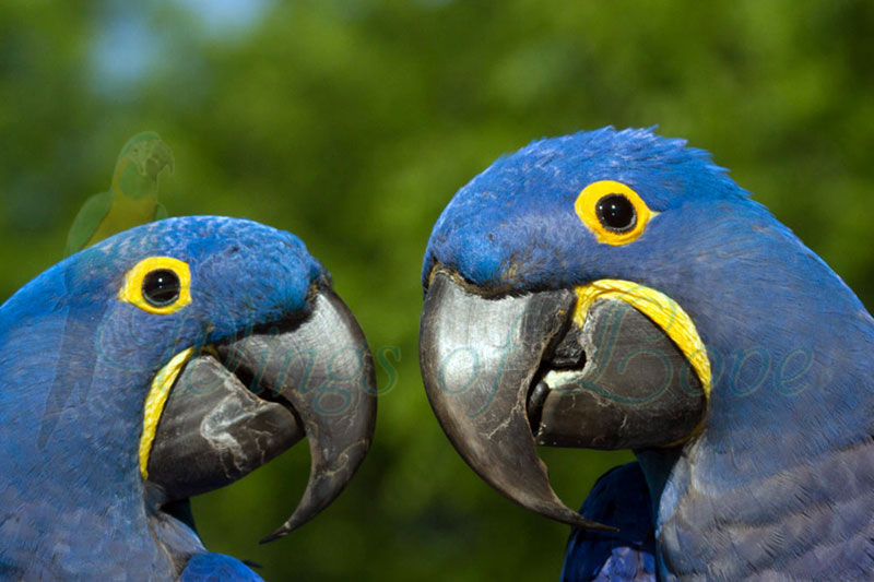 Featured event image for Rare Jewels of the Rainforest, featuring 2 blue macaws