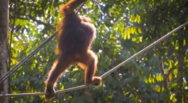 Semenggoh Orangutan Rehabilitation Centre [Video]