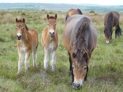 Exmoor Ponies (4)