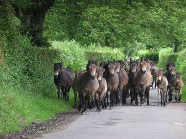 Exmoor Pony Gathering