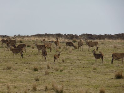 Red Deer on Anstey Common