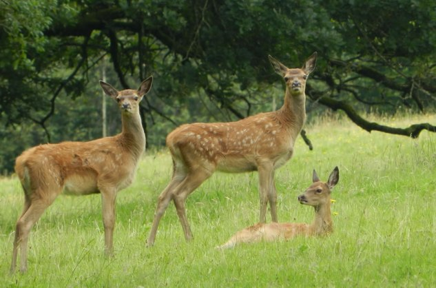 Red deer, Nr Dulverton