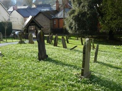 Snowdrops at Dulverton Churchyard