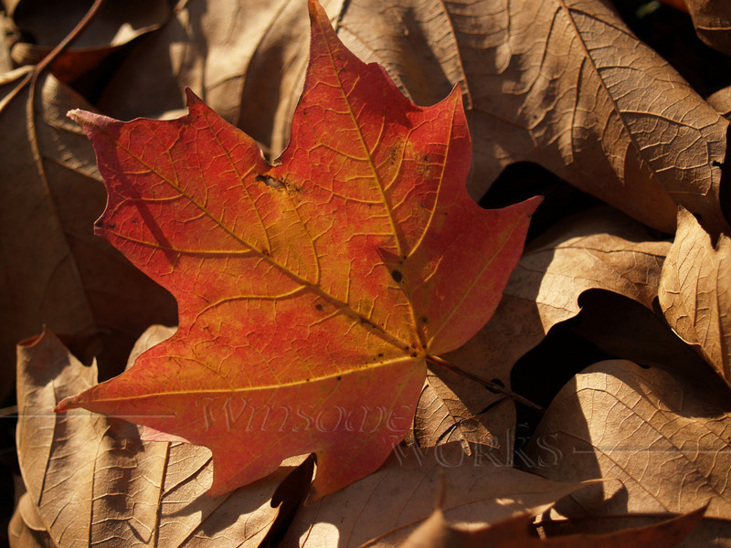 Sugar Maple Leaf Backlit with Dry Leaves