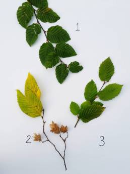 Fagus sylvatica (1), Carpinus betulus (2), and Ostrya carpinifolia (3), photograph by Leighanne Gee, WInterbourne House and Garden, Digging for Dirt