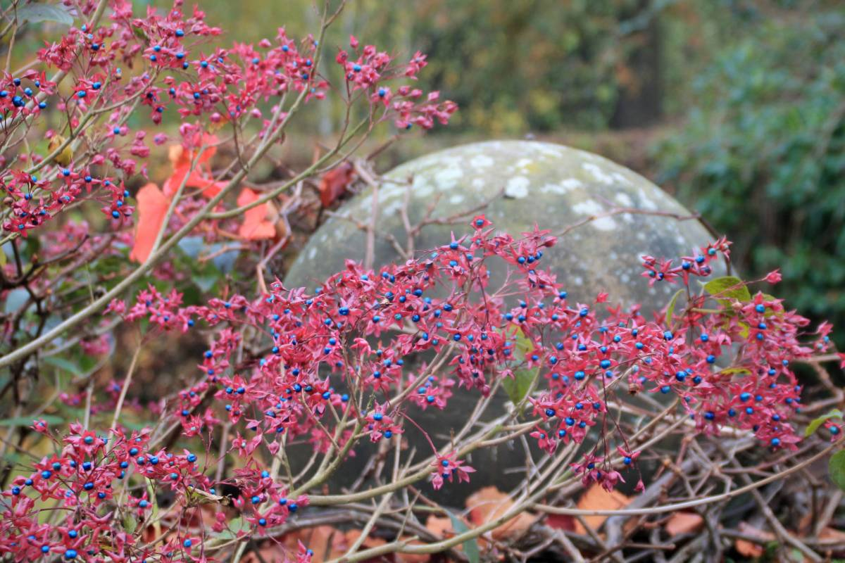 Clerodendrum trichotomum in the Top Border, photograph by Carien van Boxtel, Winterbourne House and Garden, Digging for Dirt
