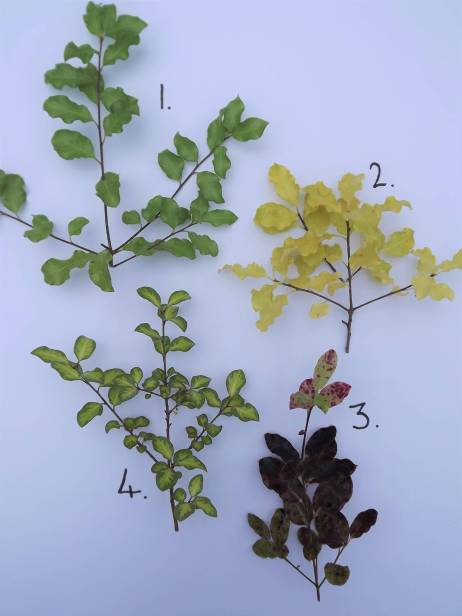 1. P. tenuifolium, 2. P. 'Warnham Gold', 3. P. 'Tom Thumb', 4. P. 'Tandara Gold', Winterbourne House and Garden, Digging for Dirt
