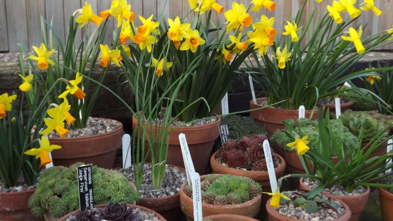 Narcissus 'Jetfire', Winterbourne House and Garden, Digging for Dirt