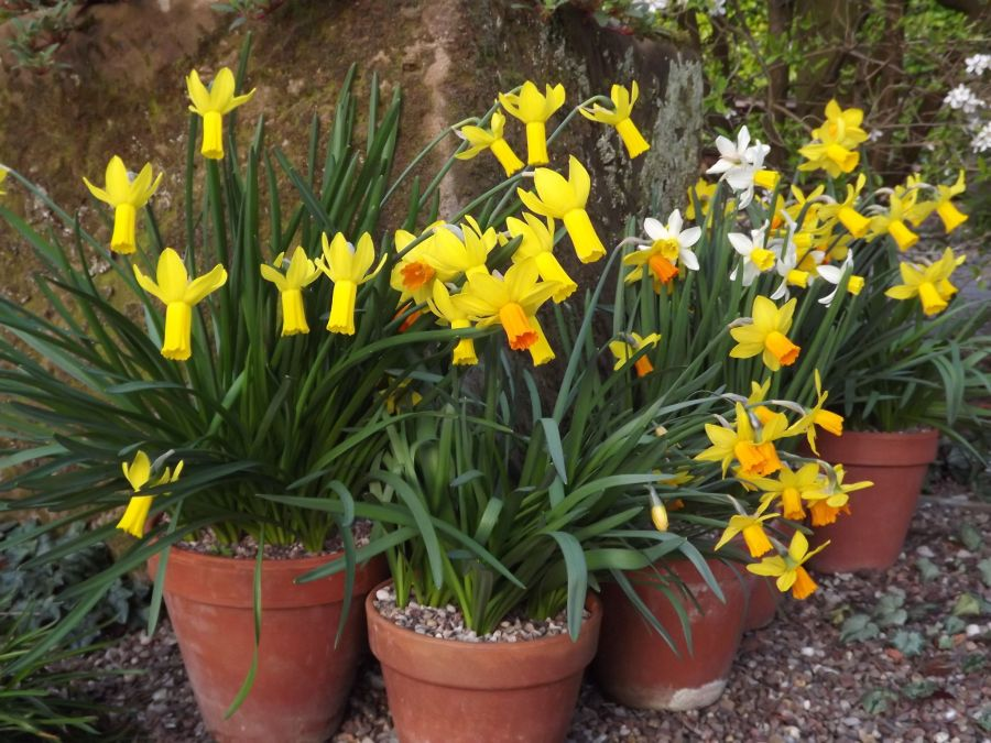 Narcissus 'Jetfire' and Narcissus 'Rapture' in the Alpine Yard, Winterbourne House and Garden, Digging for Dirt