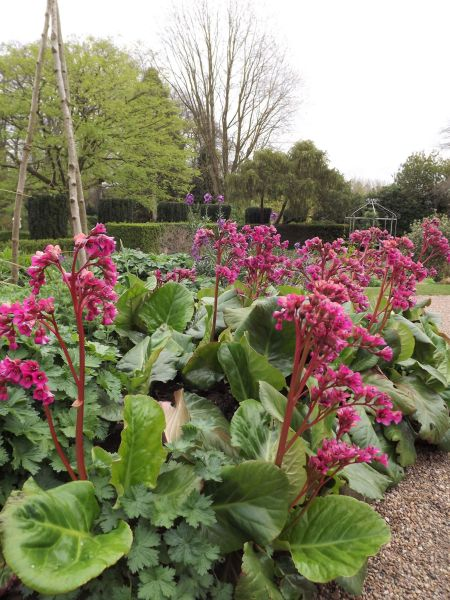 Bergenia 'Ballawley', Winterbourne House and Garden, Digging for Dirt