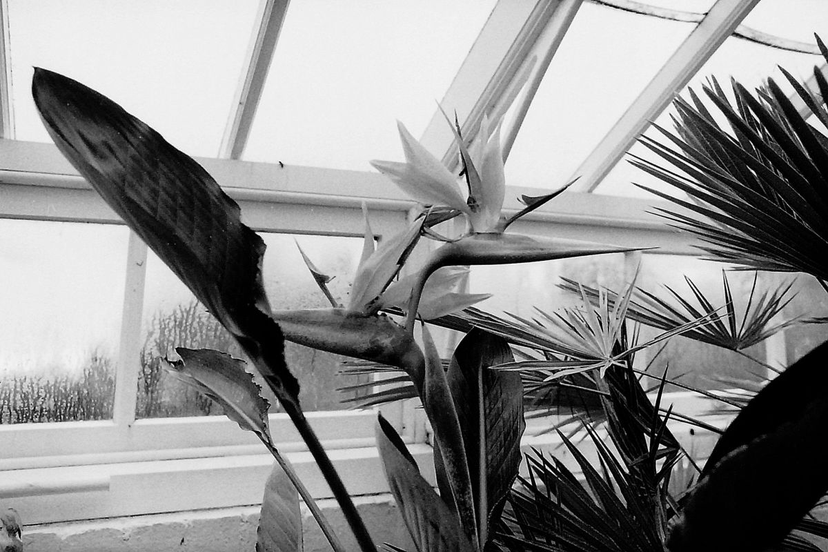 Strelitzia reginae, bird of paradise, photograph by Chris Rigby, film photography, Winterbourne House and Garden, Digging for Dirt