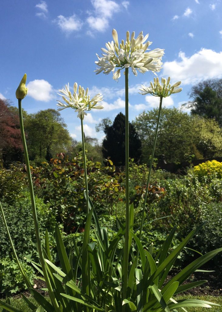 Agapanthus, photograph by Omar Mian, Winterbourne House and Garden, Digging for Dirt