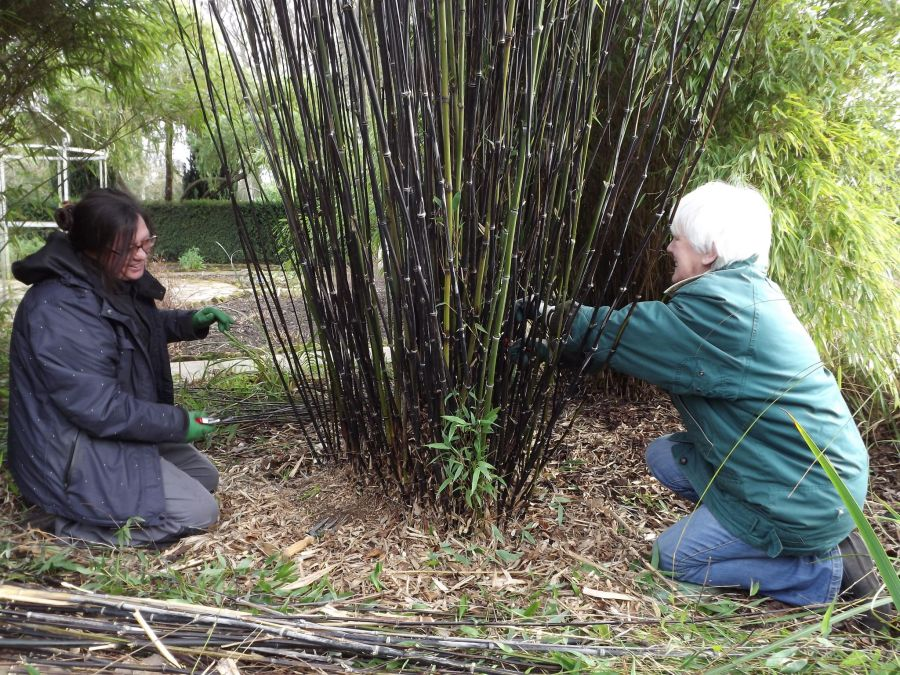 Thinning bamboo, Winterbourne House and Garden, Digging for Dirt, Monthly Masterclass: August