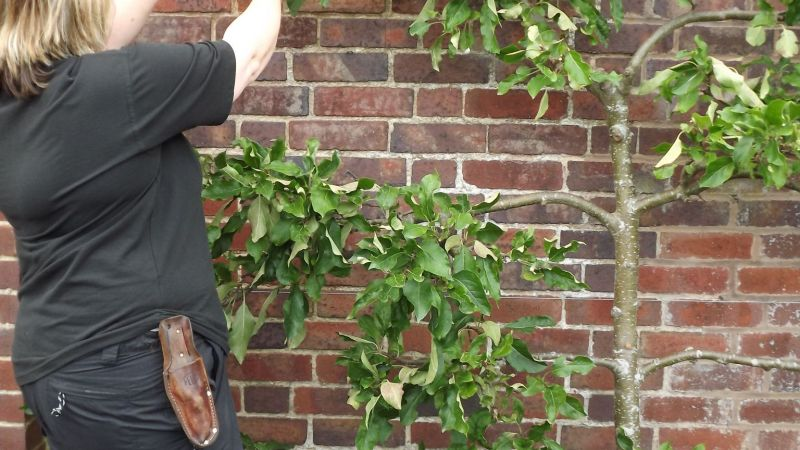Summer pruning wall trained fruit, Winterbourne House and Garden, Digging for Dirt, Monthly Masterclass: August