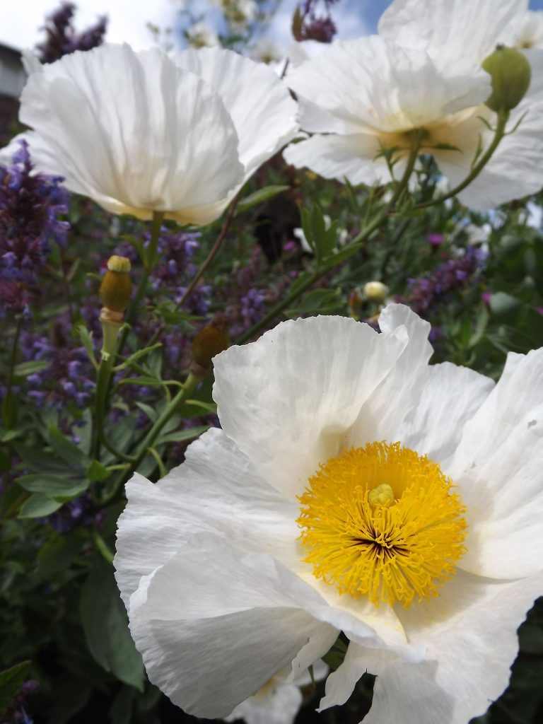 Californian tree poppy, Winterbourne House and Garden, Digging for Dirt, Monthly Masterclass: August