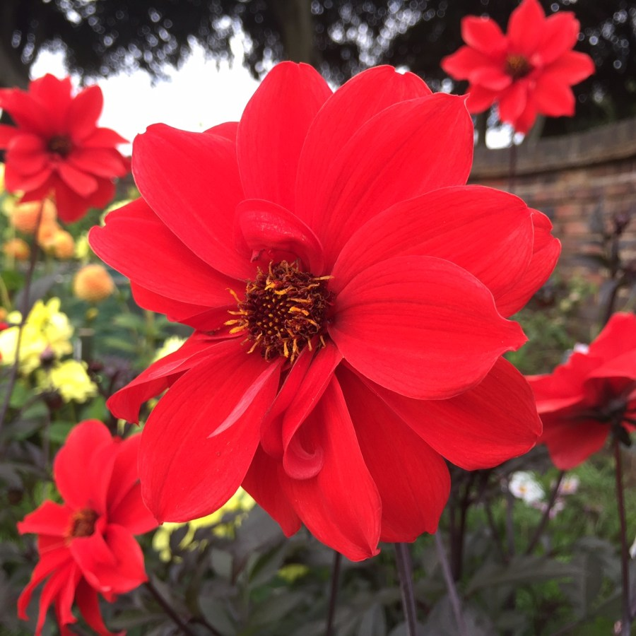 Dahlia 'Bishop of Llandaff' in the Walled Garden, photograph by Paul Martin, Now and Then, Winterbourne House and Garden, Digging for Dirt