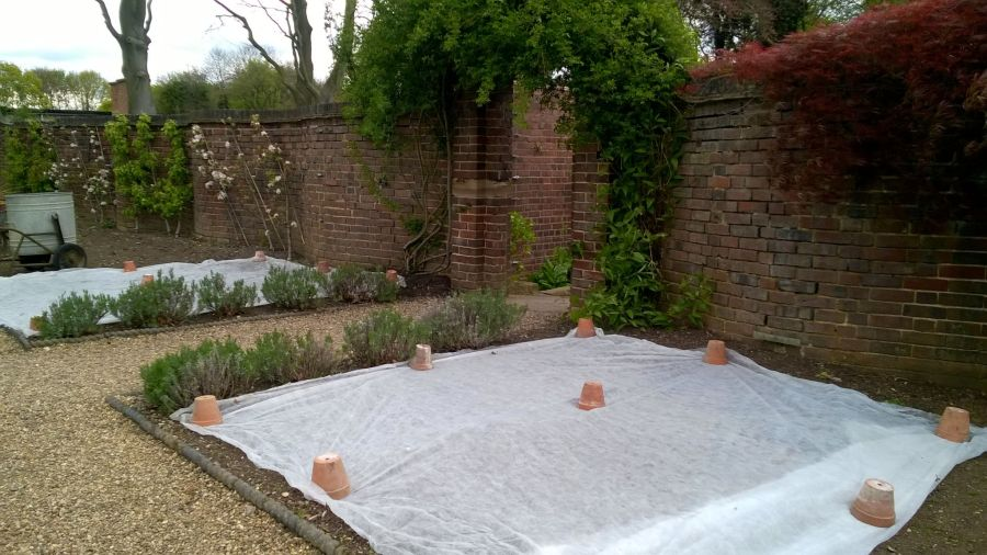 Fleecing dahlias in spring, Now and Then: November, Winterbourne House and Garden, Digging for Dirt