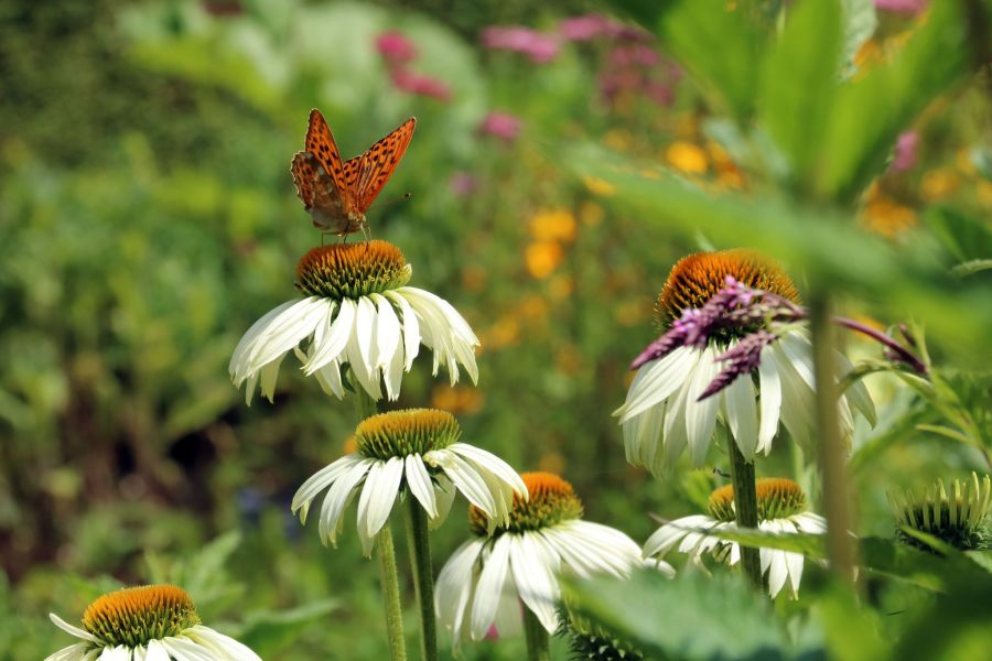 Echinacea in the Walled Garden, photograph by Susan Georgiou, Snapshot, Winterbourne House and Garden, Digging for Dirt
