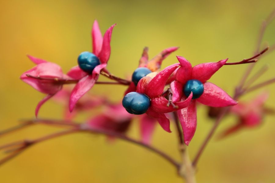 Clerodendrum trichotomum, photograph by Susan Georgiou, Snapshot, Winterbourne House and Garden, Digging for Dirt