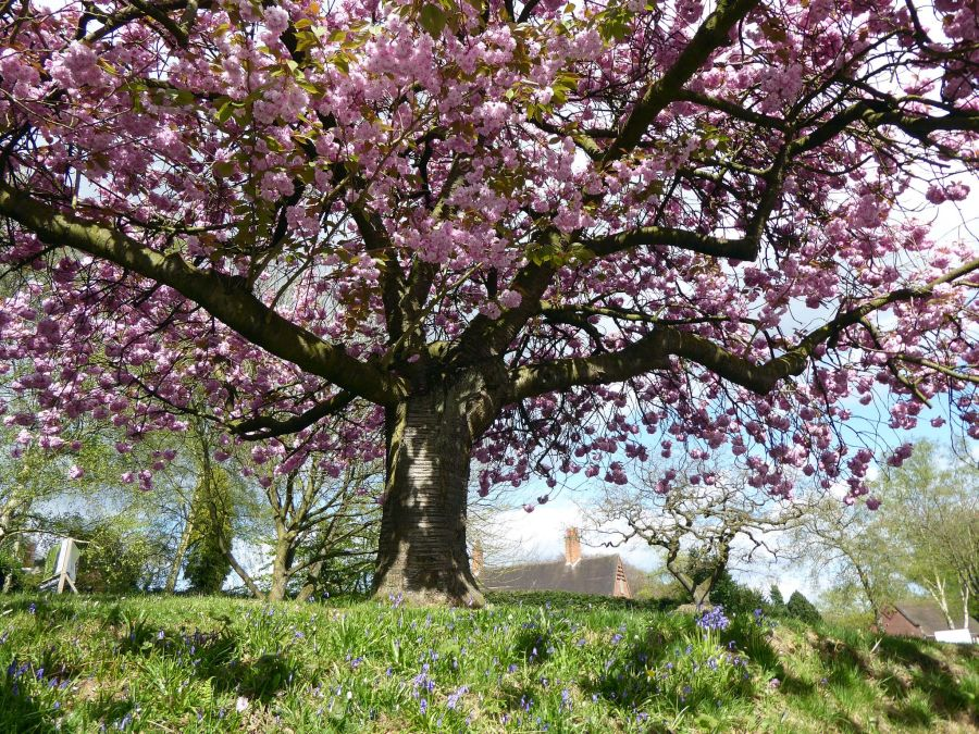 Prunus 'Kanzan', photograph by Susan Georgiou, Snapshot, Winterbourne House and Garden, Digging for Dirt