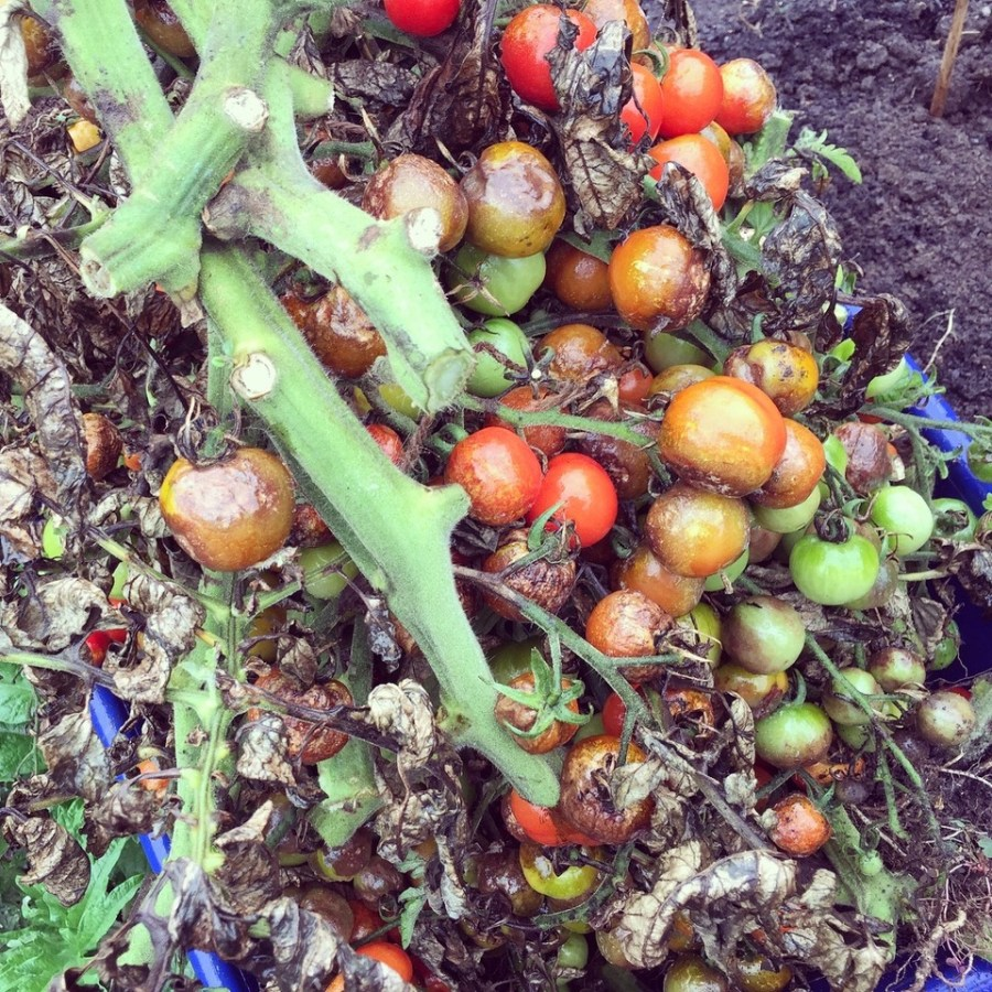 Tomato blight, photograph by Paul Martin, career change, Winterbourne House and Garden, Digging for Dirt