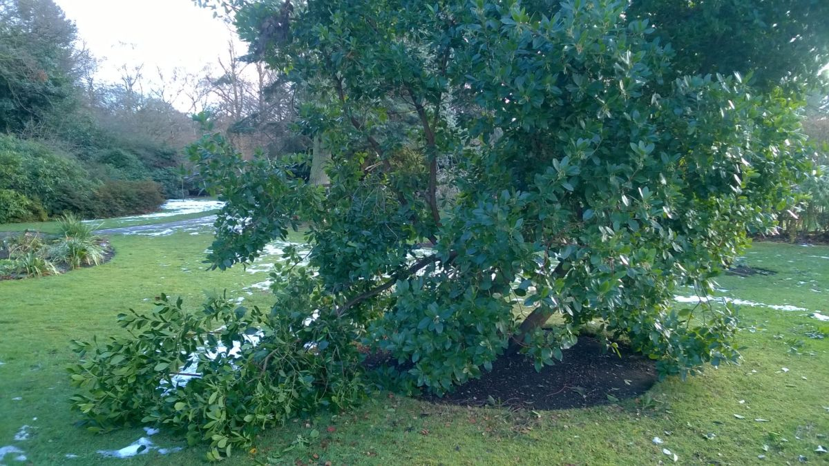 Snow damaged strawberry tree on the Arboretum Lawn, Now and Then, Winterbourne House and Garden, Digging for Dirt
