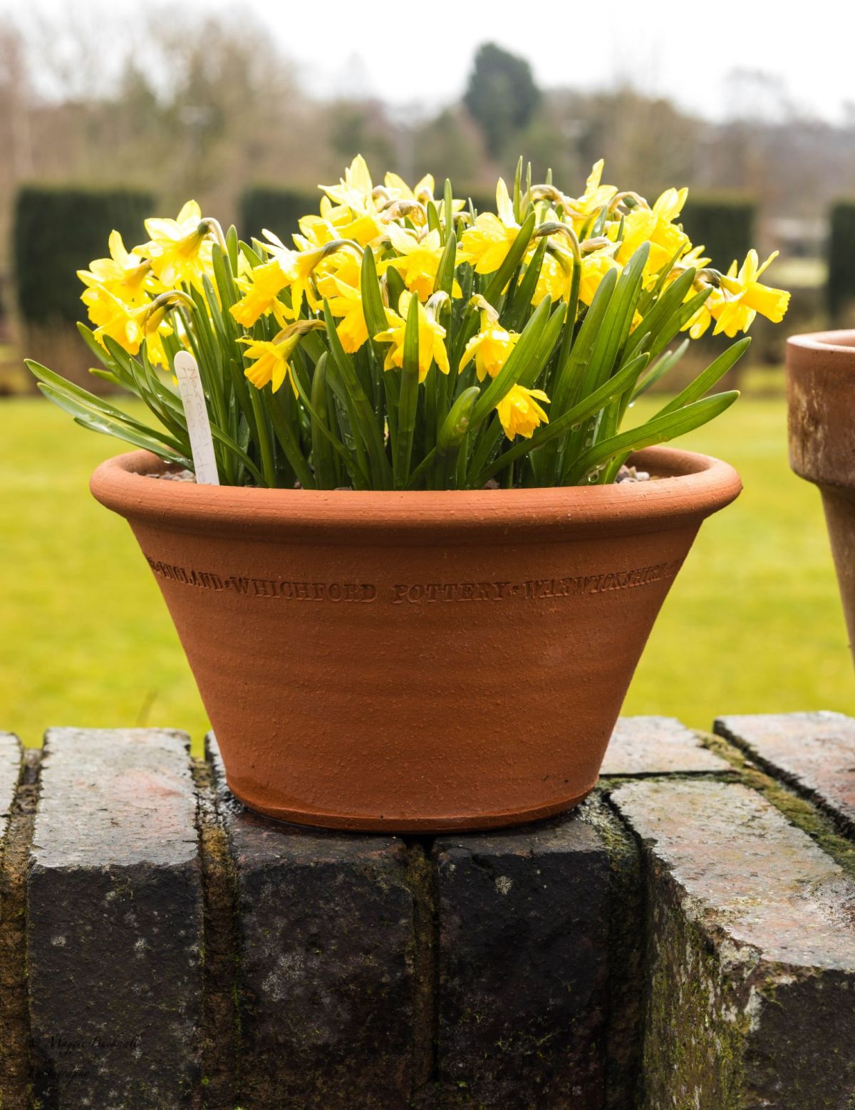 Narcissus 'Tete-a-Tete' on the Terrace, photograph by Maggie Bucknall, Now and Then March, Winterbourne House and Garden, Digging for Dirt