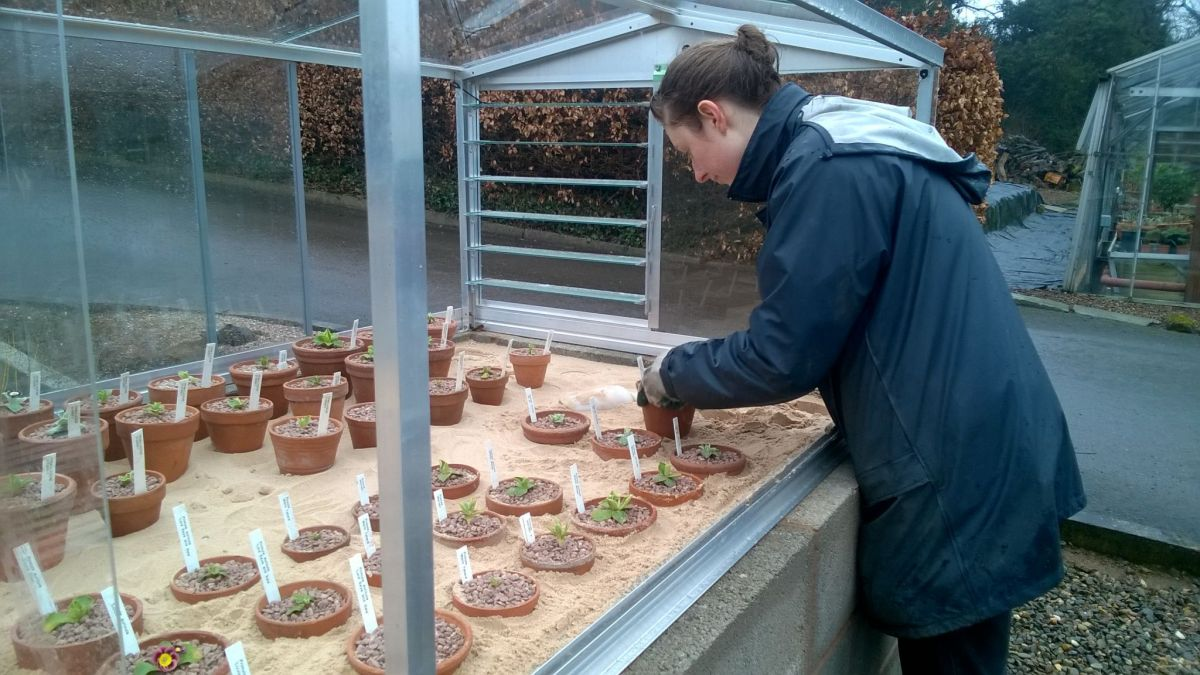Auriculas growing in a plunge bed and cold frame in our Nursery Area, Now and Then April, Winterbourne House and Garden, Digging for Dirt