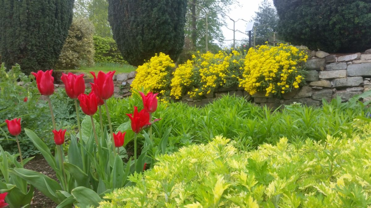 Tulipa 'Pretty Woman' and Alyssum in the Red and Yellow Border, photograph by Leighanne Gee, Now and Then May, Winterbourne House and Garden, Digging for Dirt