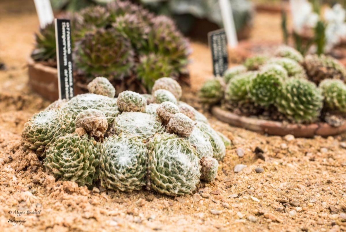 Sempervivum, photograph by Maggie Bucknall, Winterbourne House and Garden, Digging for Dirt