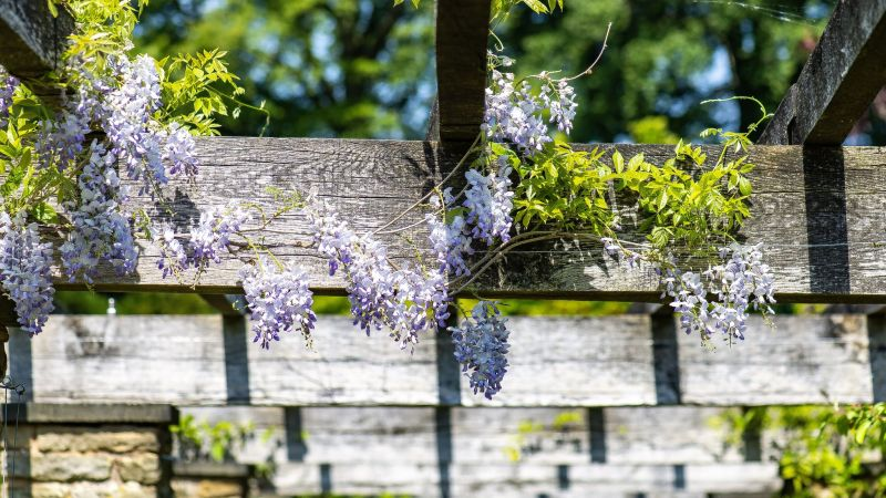 Wisteria sinensis 'Prolific' on the Pergola, photograph by Tony Bucknall, Now and Then May, Winterbourne House and Garden, Digging for Dirt