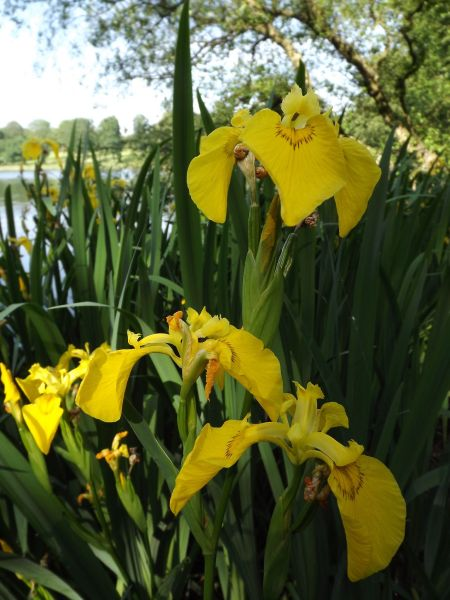 Iris pseudacorus in Edgbaston Wood, The Tempest, Winterbourne House and Garden, Digging for Dirt