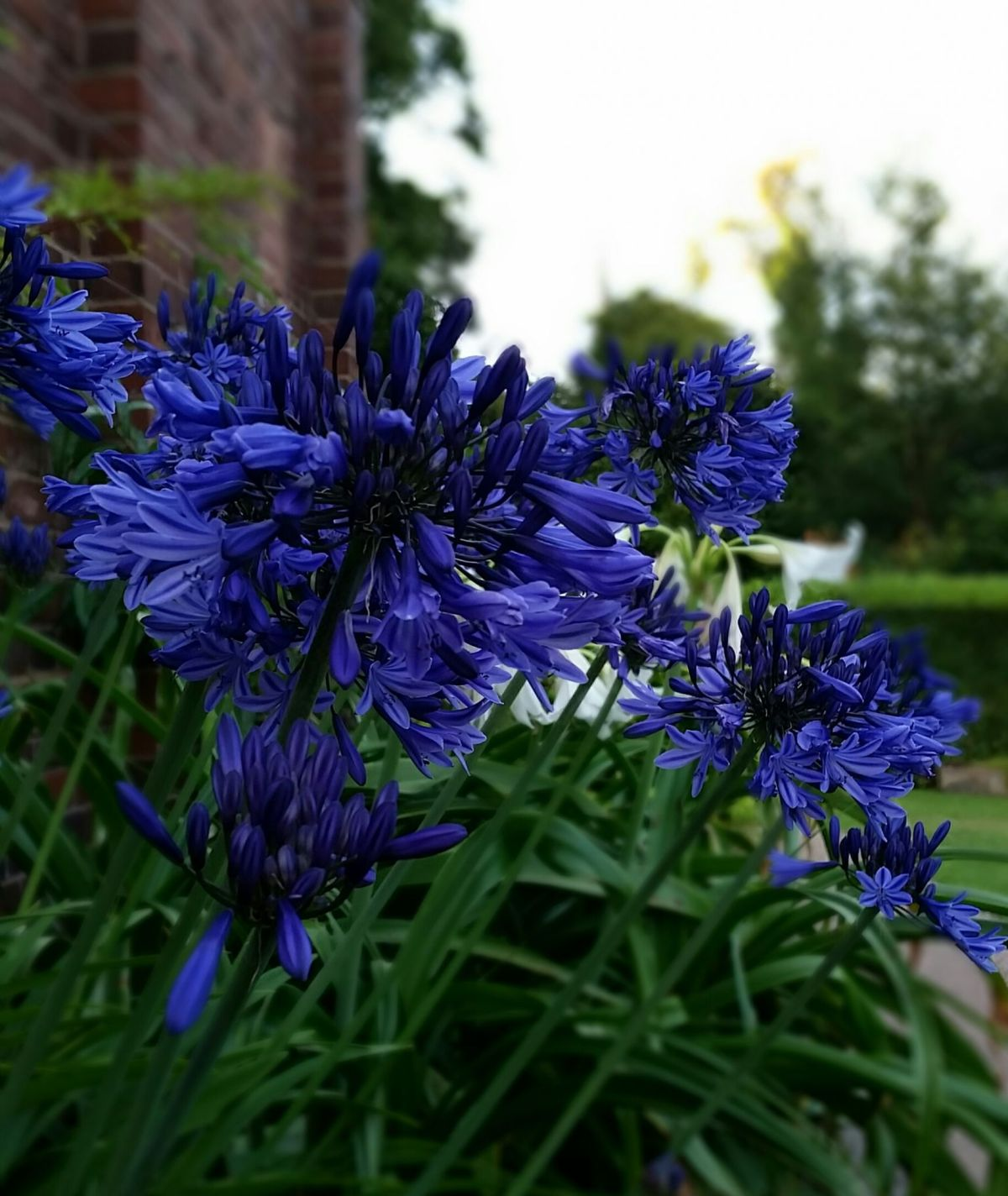 Agapanthus 'Midnight Blue' in the South African Bulb Bed, Now and Then July, Winterbourne House and Garden, Digging for Dirt