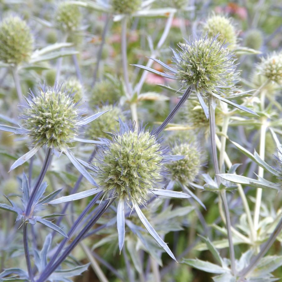 Eryngium in the Walled Garden, Now and Then July, Winterbourne House and Garden, Digging for Dirt