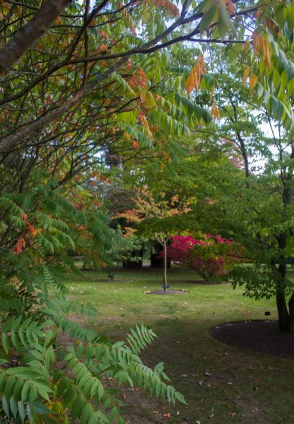 Rhus typhina and Euonymus alatus 'Compactus' in the distance, photograph by Maggie Bucknall, The Week That Was, Winterbourne House and Garden, Digging for Dirt