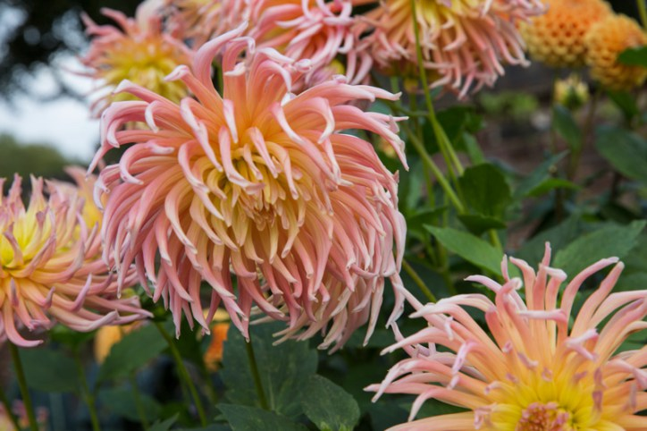Dahlias in The Walled Garden, photograph by Victoria Beddoes, Snapshot So Victoria, Winterbourne House and Garden, Digging for Dirt